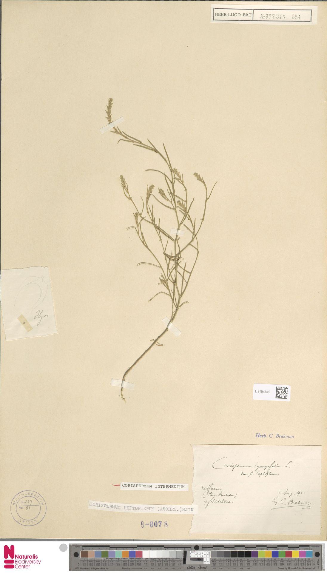 L.3194546 | Corispermum intermedium Schweigg.