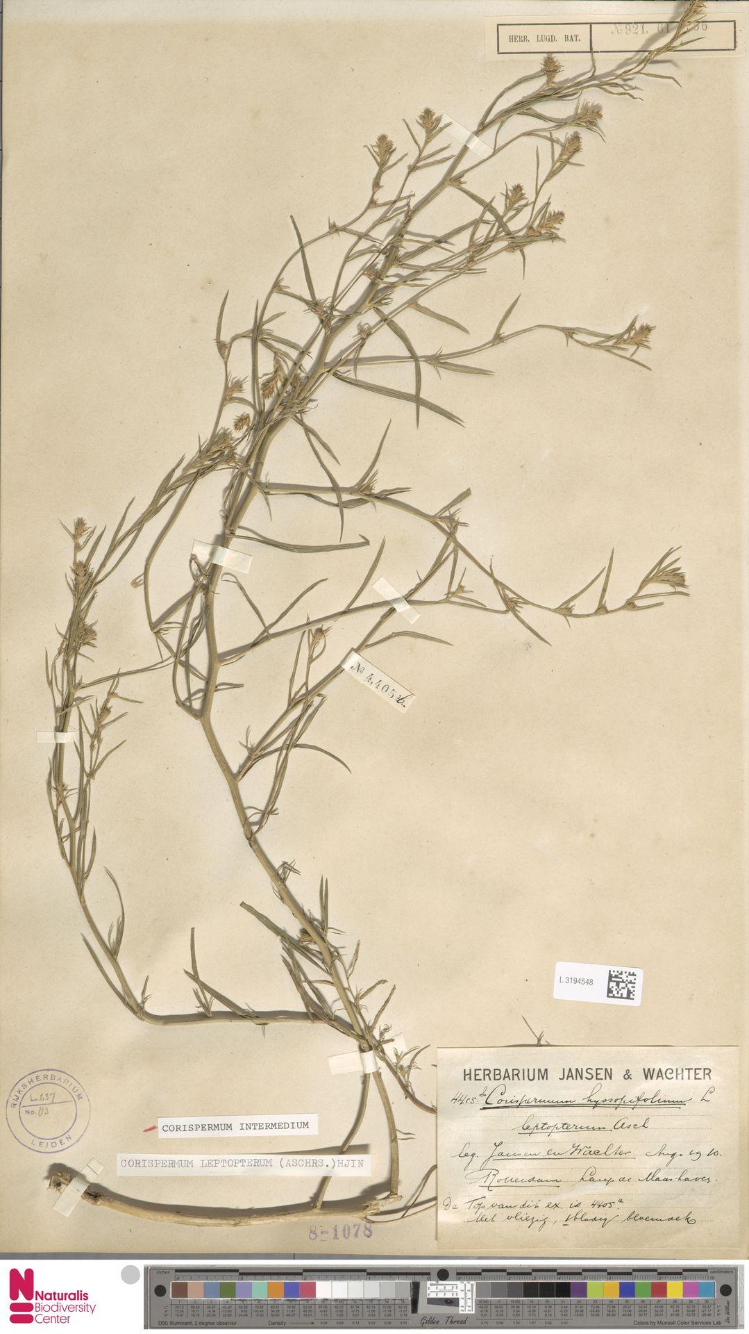 L.3194548 | Corispermum intermedium Schweigg.