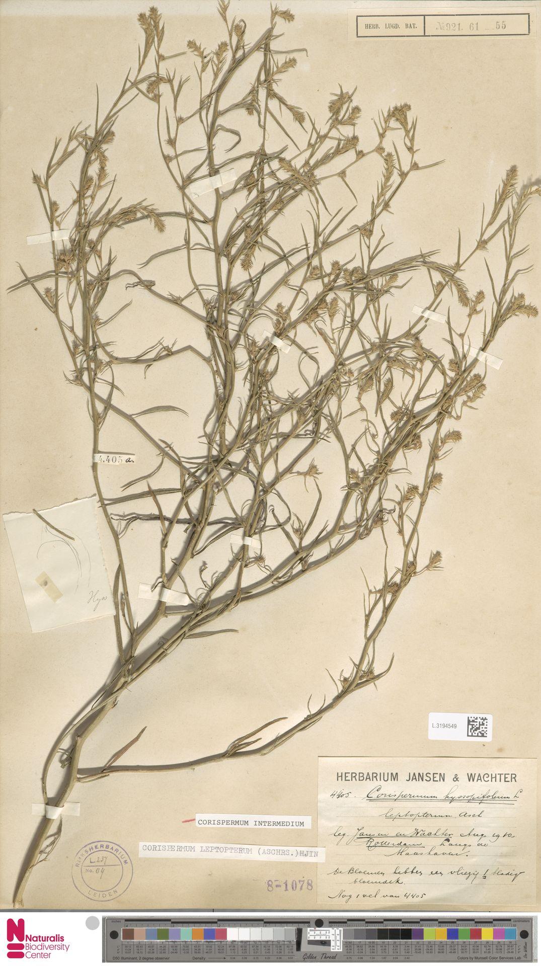 L.3194549 | Corispermum intermedium Schweigg.