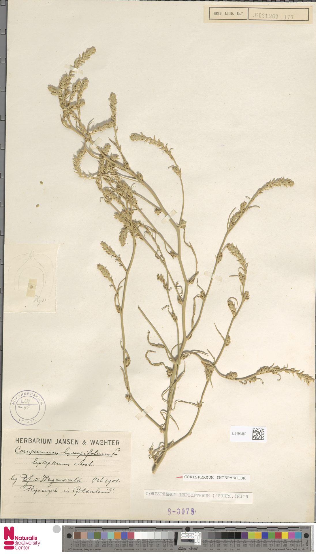L.3194550 | Corispermum intermedium Schweigg.