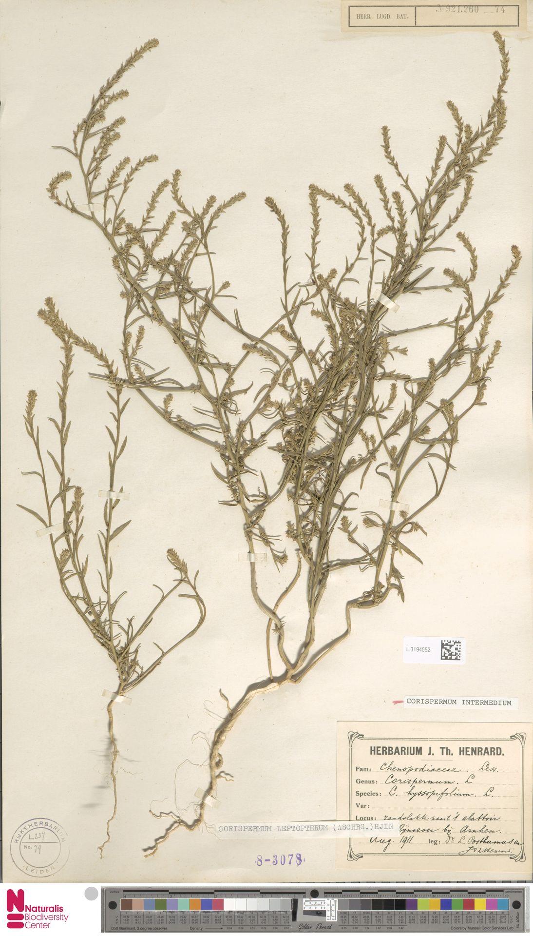 L.3194552 | Corispermum intermedium Schweigg.