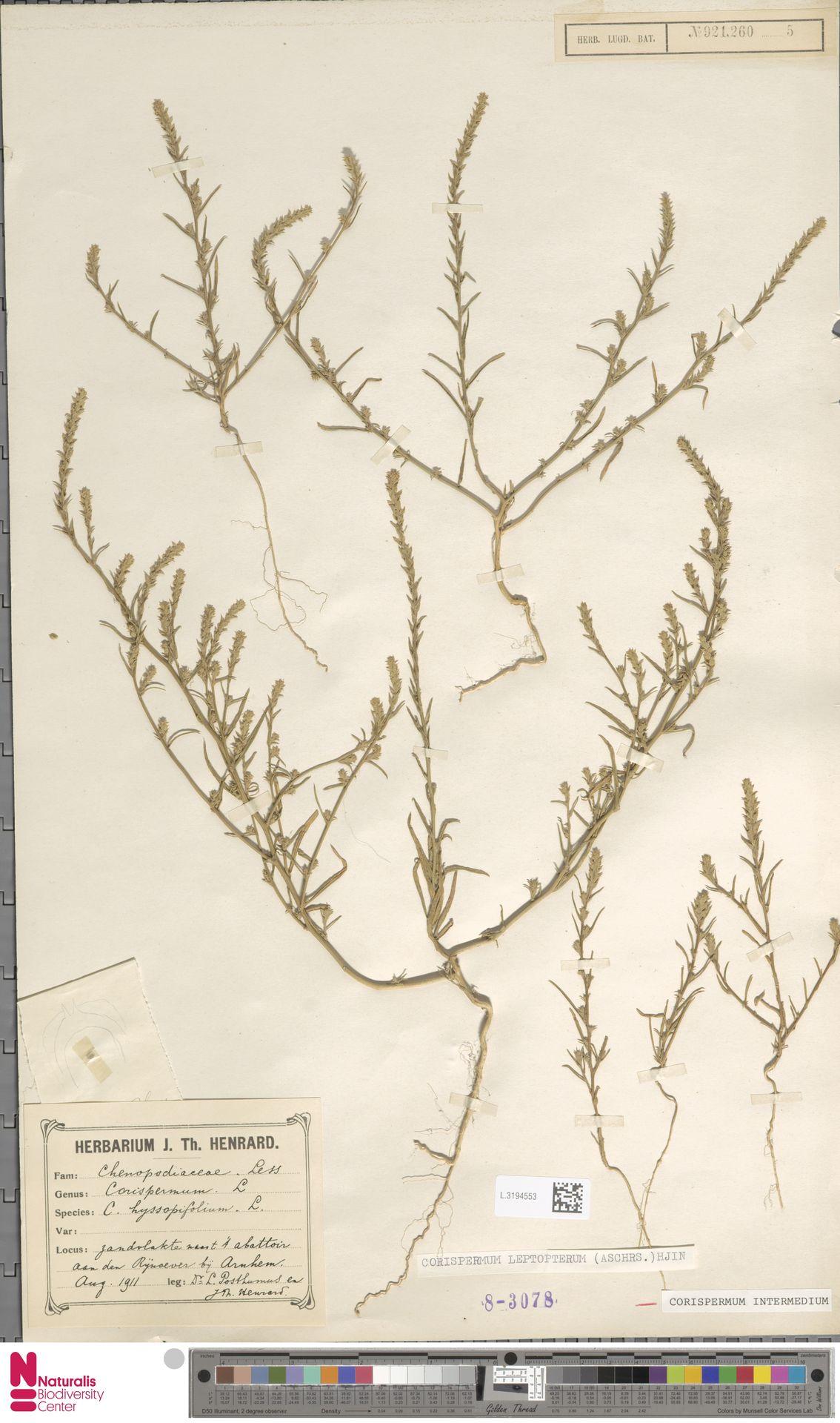 L.3194553 | Corispermum intermedium Schweigg.