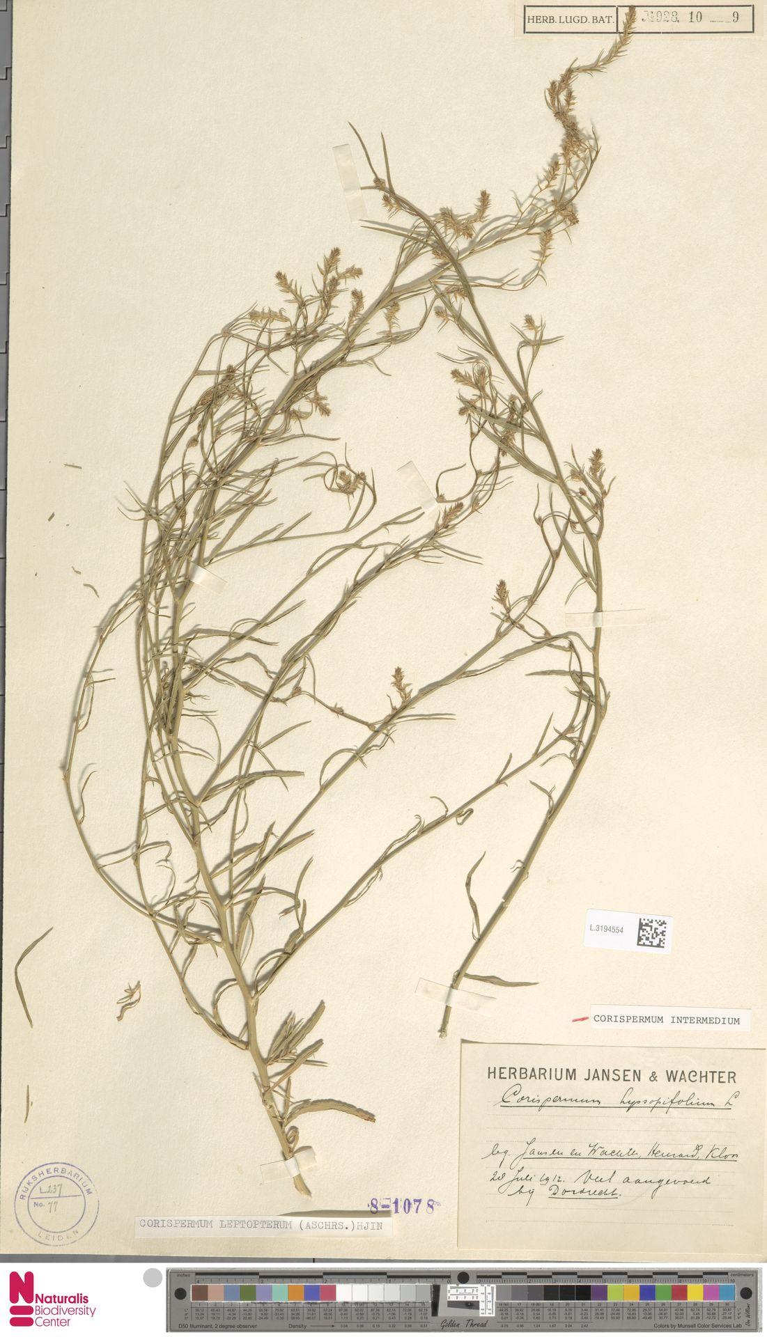 L.3194554 | Corispermum intermedium Schweigg.