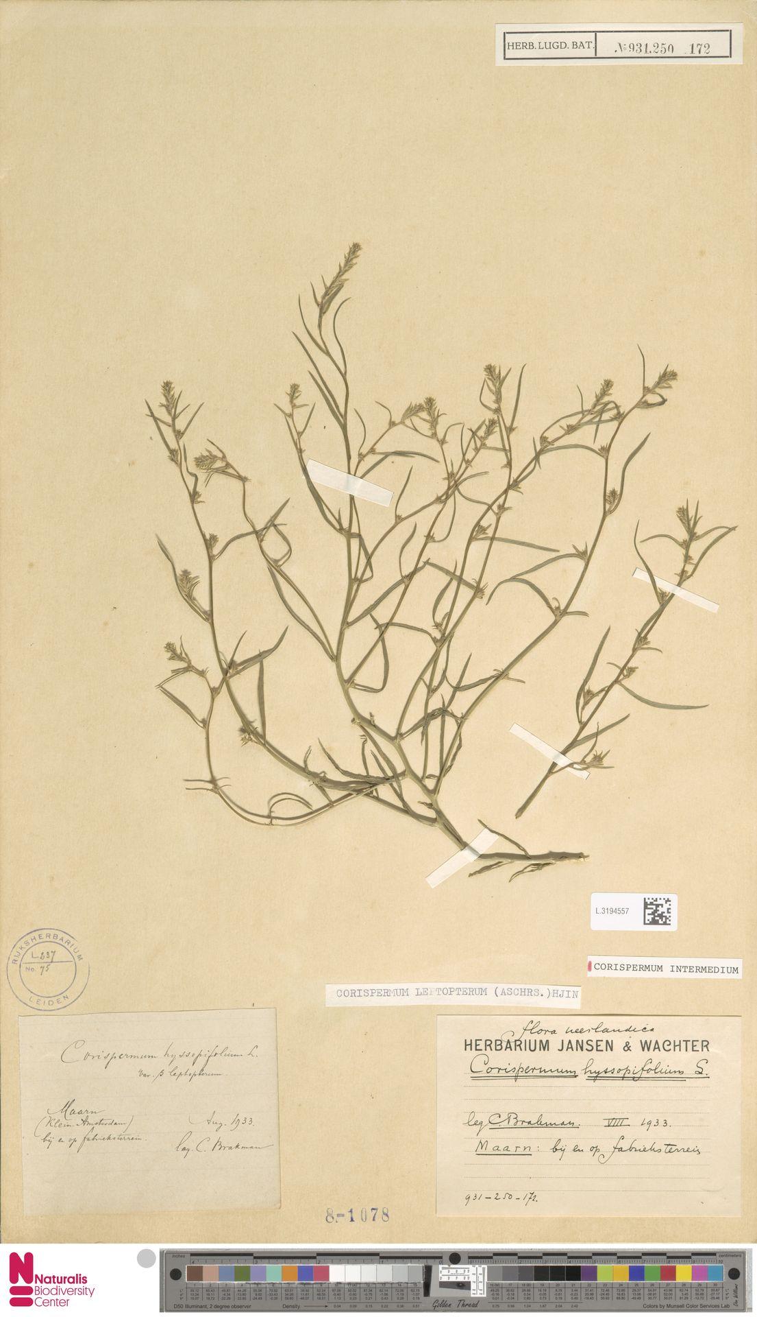 L.3194557 | Corispermum intermedium Schweigg.