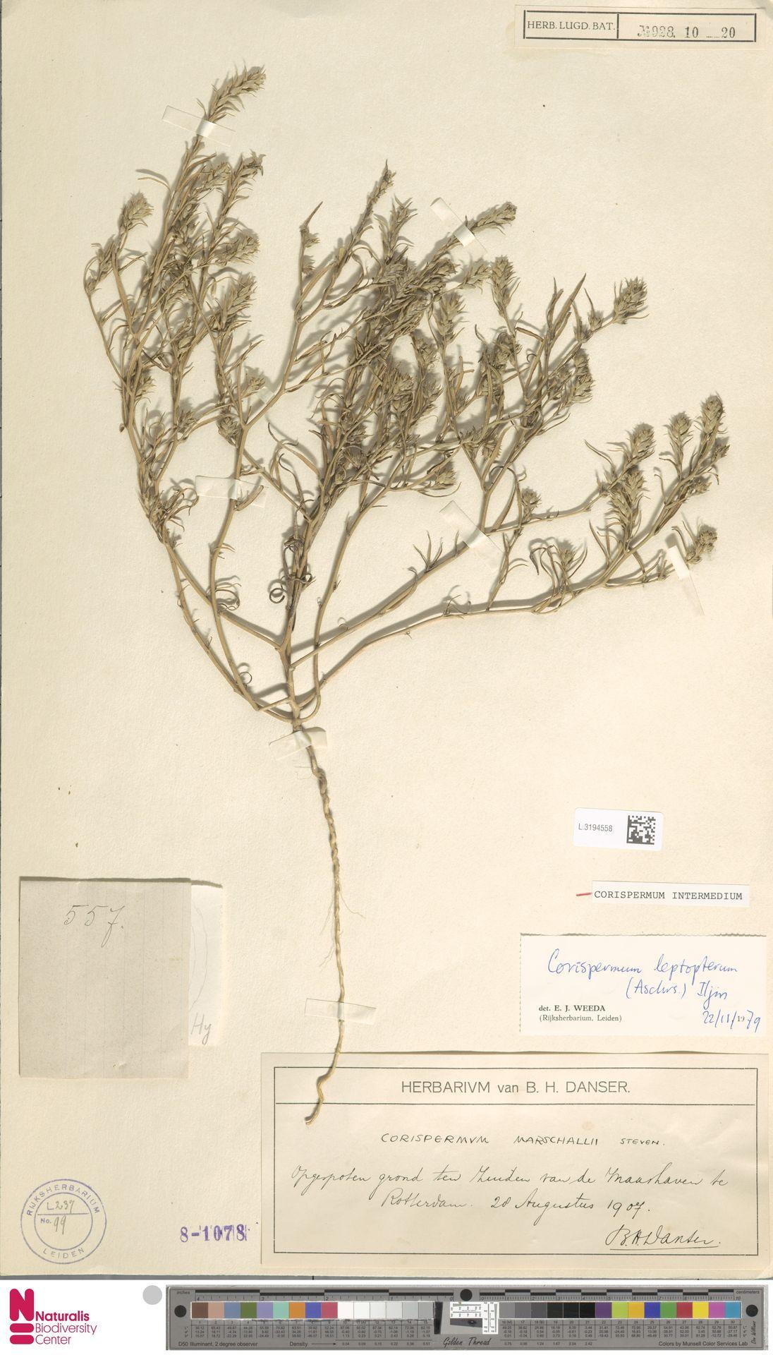 L.3194558 | Corispermum intermedium Schweigg.