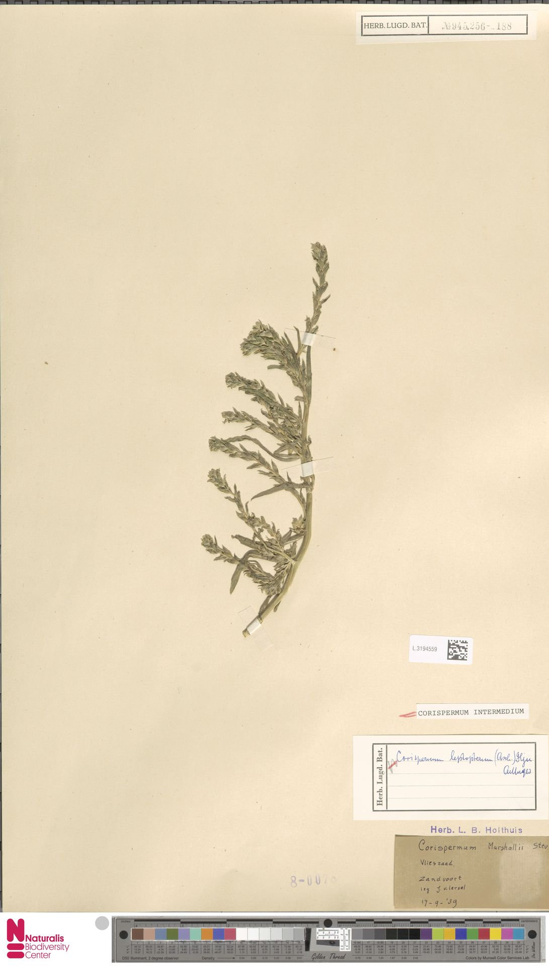 L.3194559 | Corispermum intermedium Schweigg.