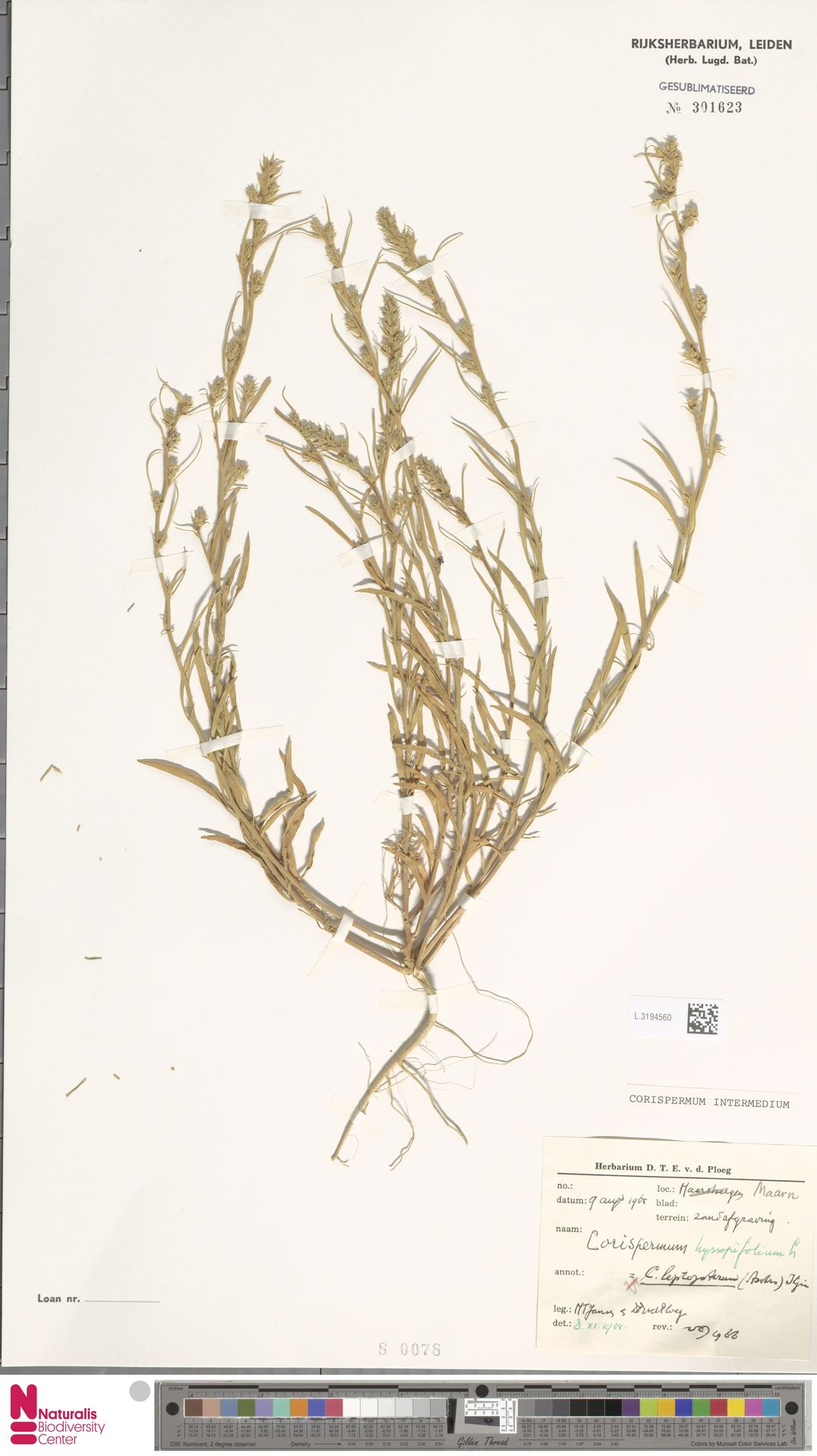 L.3194560 | Corispermum intermedium Schweigg.