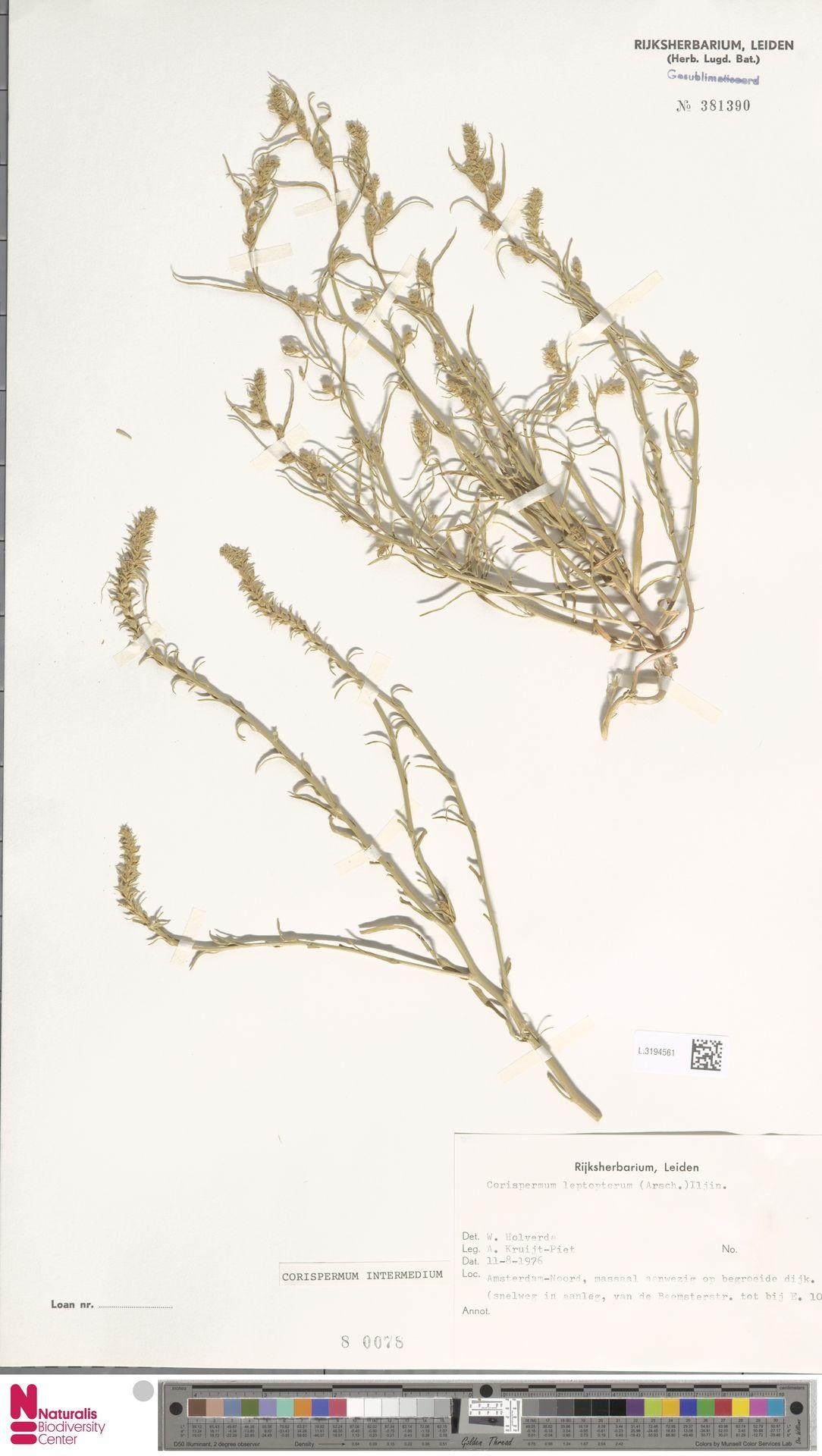L.3194561 | Corispermum intermedium Schweigg.