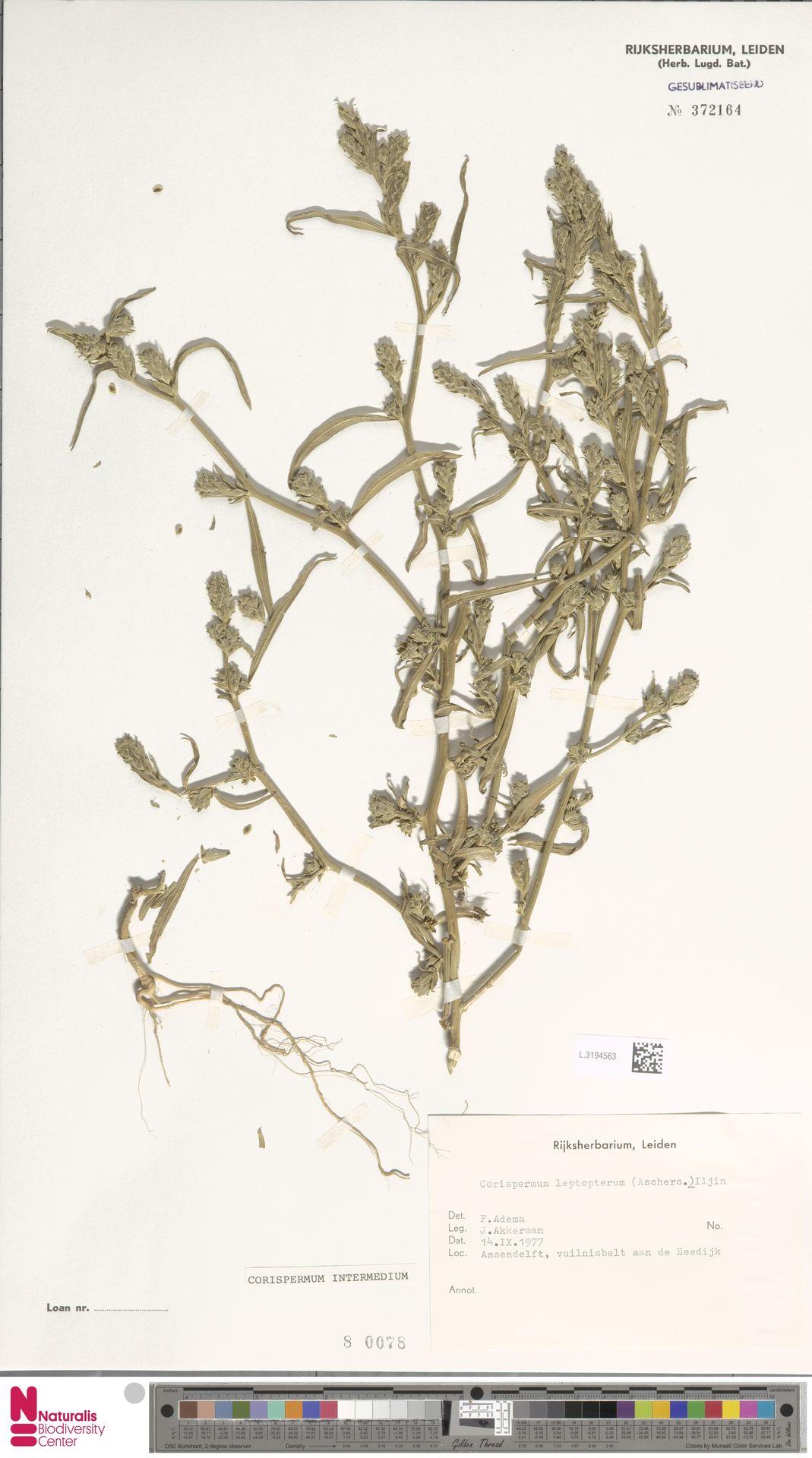 L.3194563 | Corispermum intermedium Schweigg.
