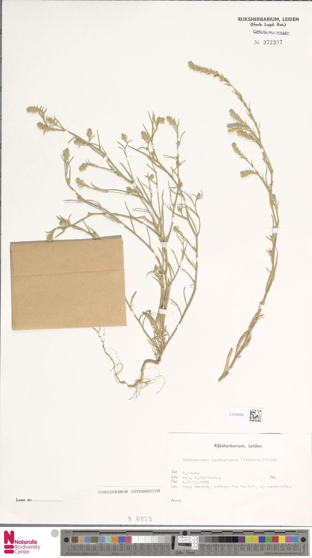 L.3194564 | Corispermum intermedium Schweigg.