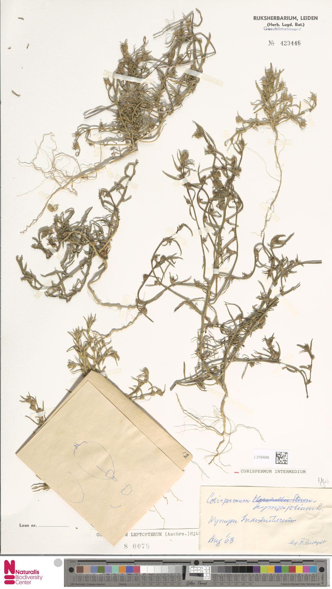L.3194566 | Corispermum intermedium Schweigg.
