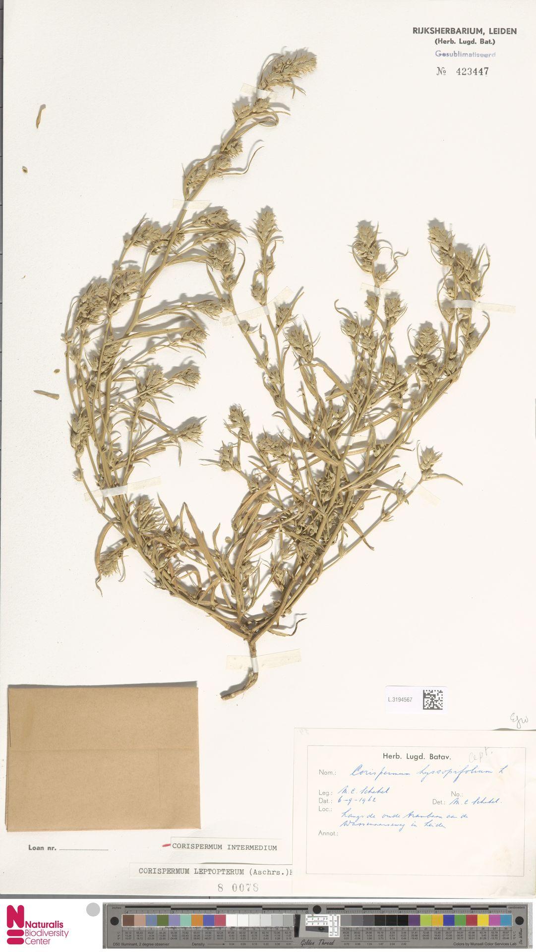 L.3194567 | Corispermum intermedium Schweigg.