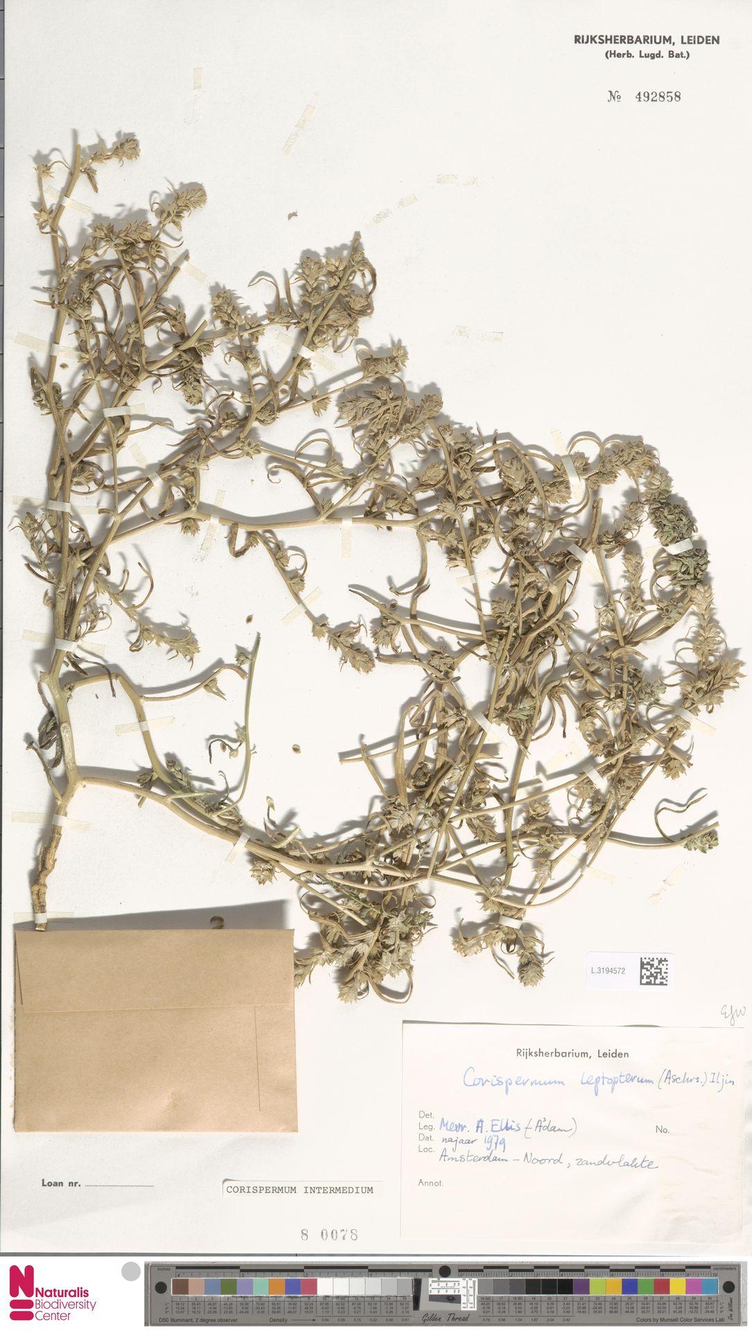 L.3194572 | Corispermum intermedium Schweigg.