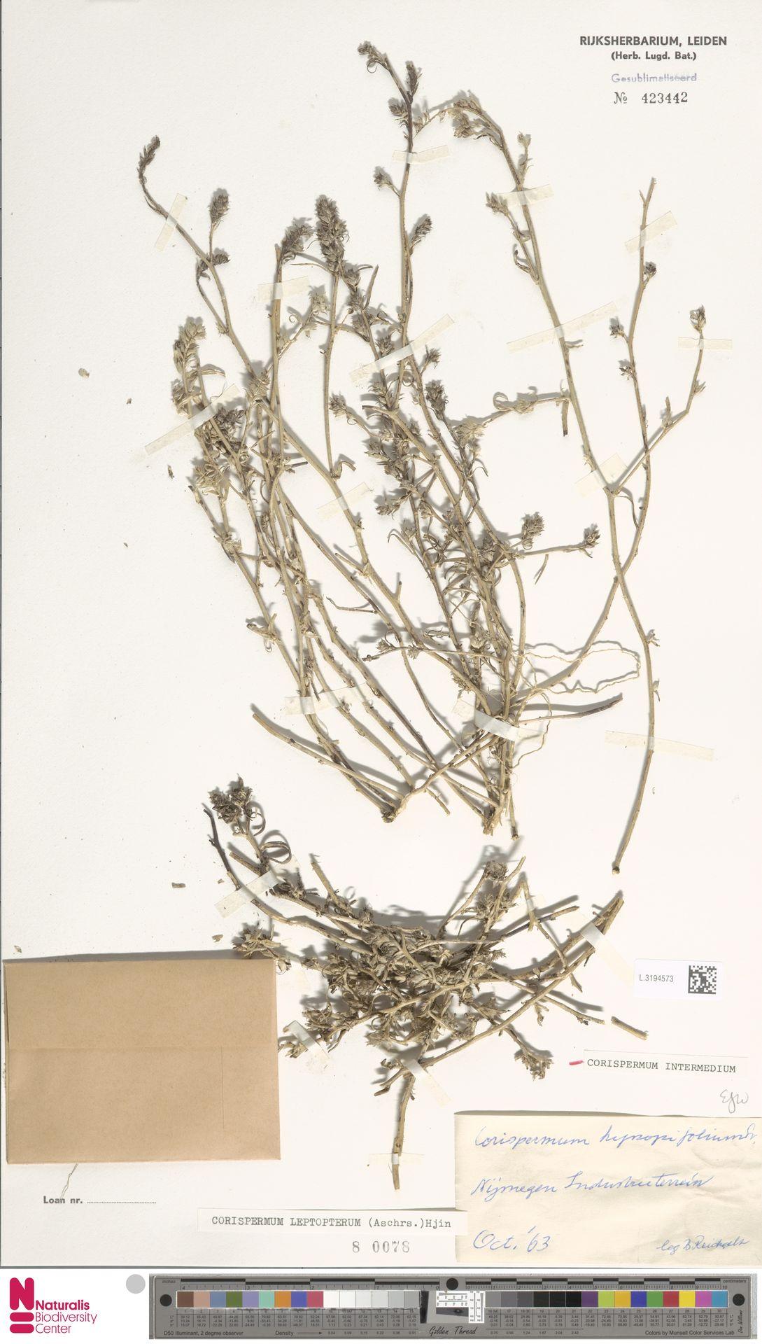 L.3194573 | Corispermum intermedium Schweigg.