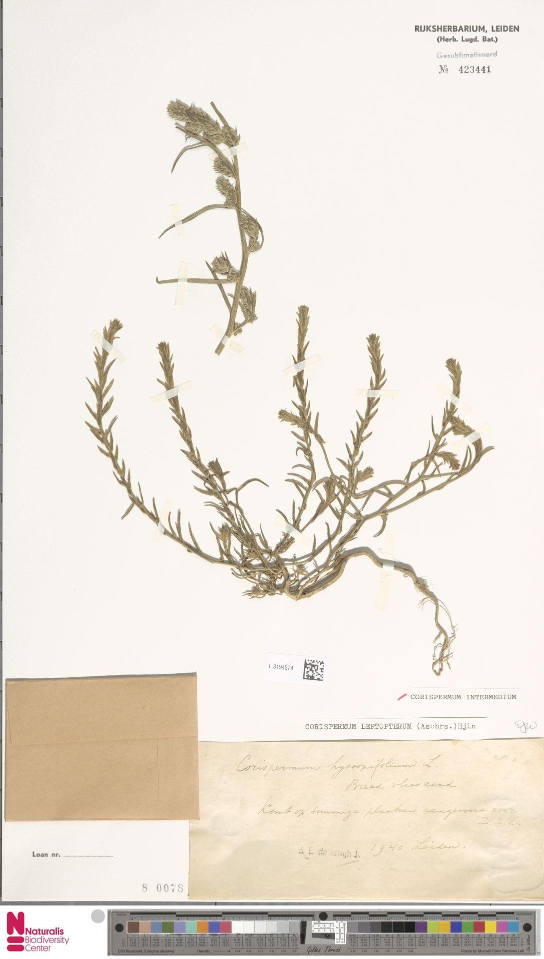 L.3194574 | Corispermum intermedium Schweigg.