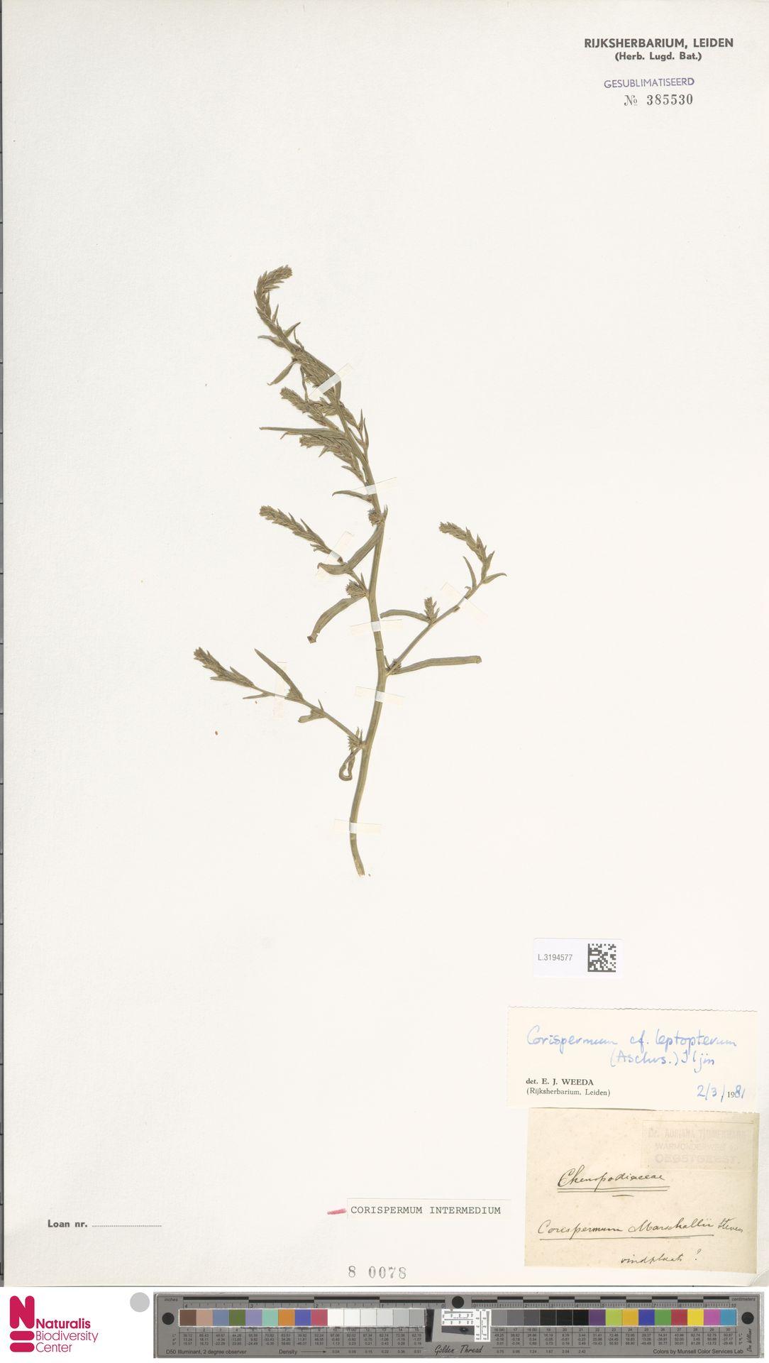 L.3194577 | Corispermum intermedium Schweigg.