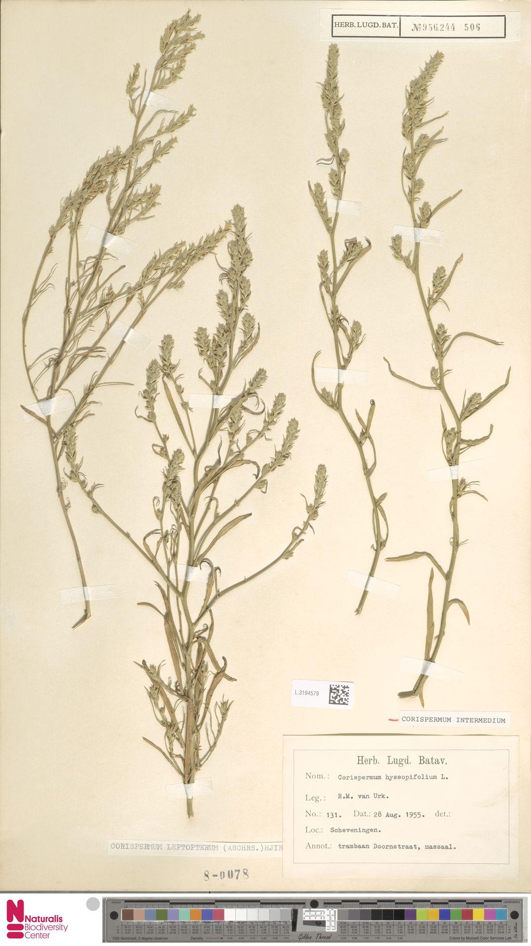 L.3194579 | Corispermum intermedium Schweigg.