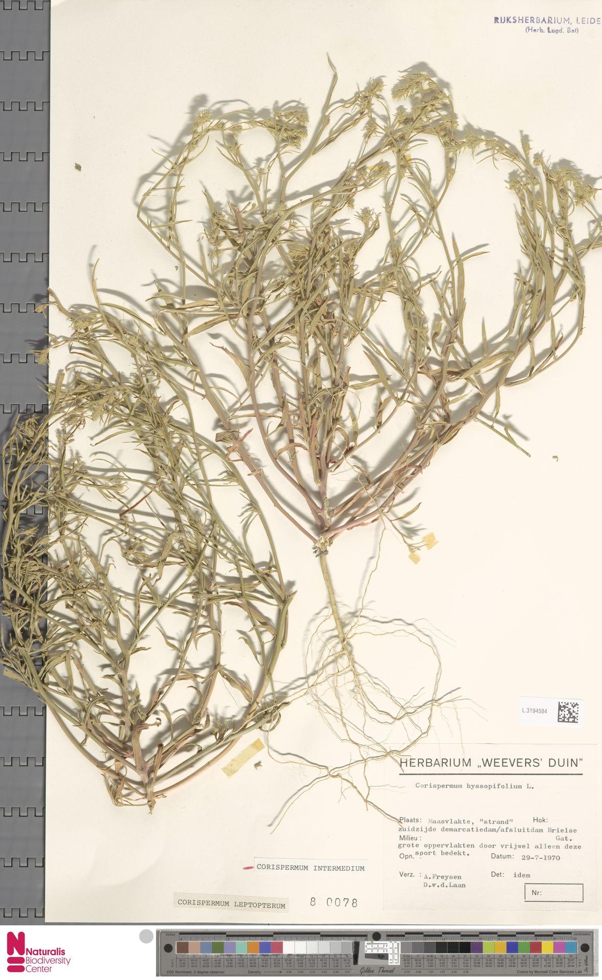 L.3194584 | Corispermum intermedium Schweigg.