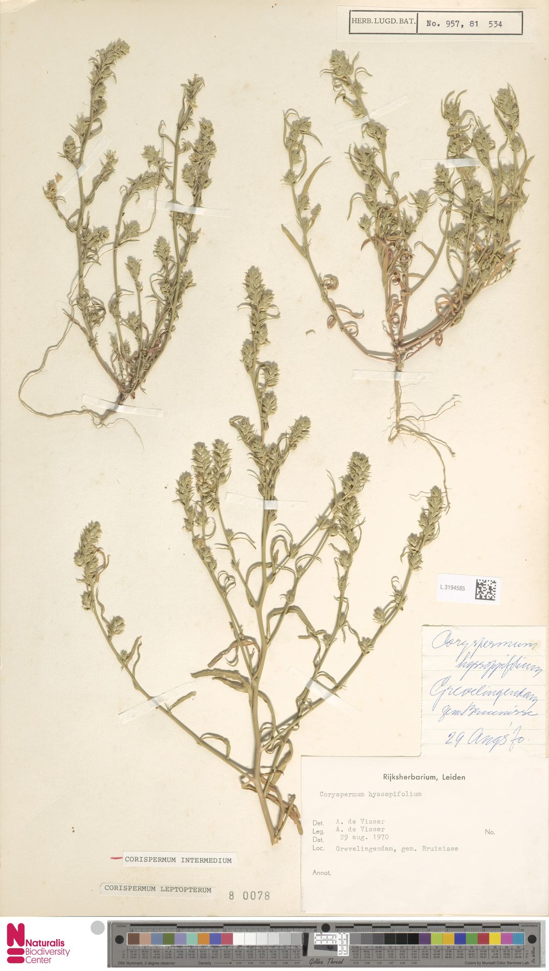 L.3194585 | Corispermum intermedium Schweigg.