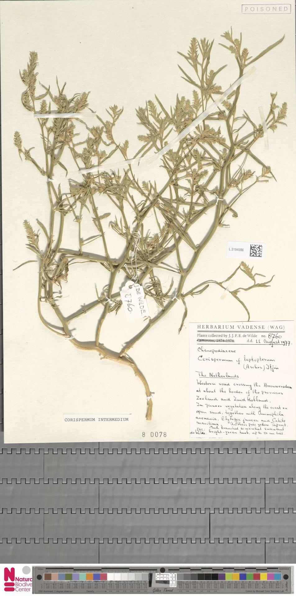 L.3194586 | Corispermum intermedium Schweigg.