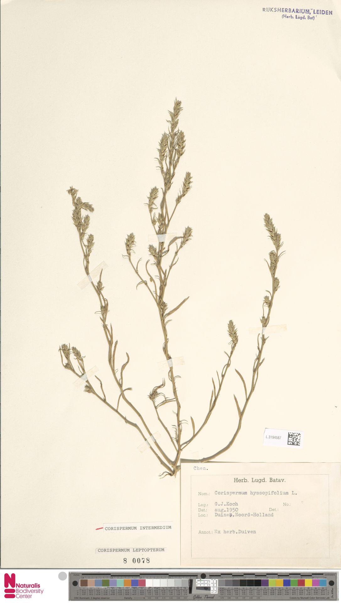 L.3194587 | Corispermum intermedium Schweigg.