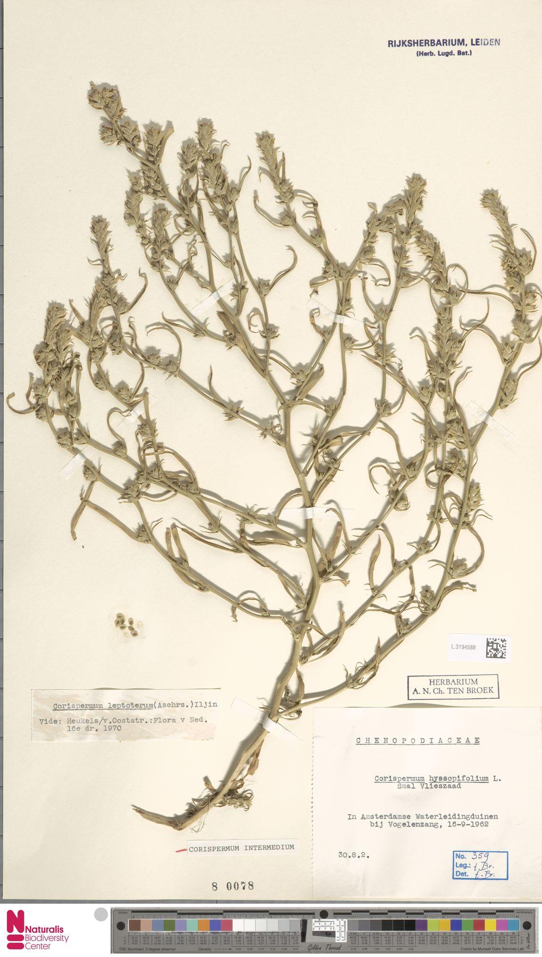 L.3194588 | Corispermum intermedium Schweigg.