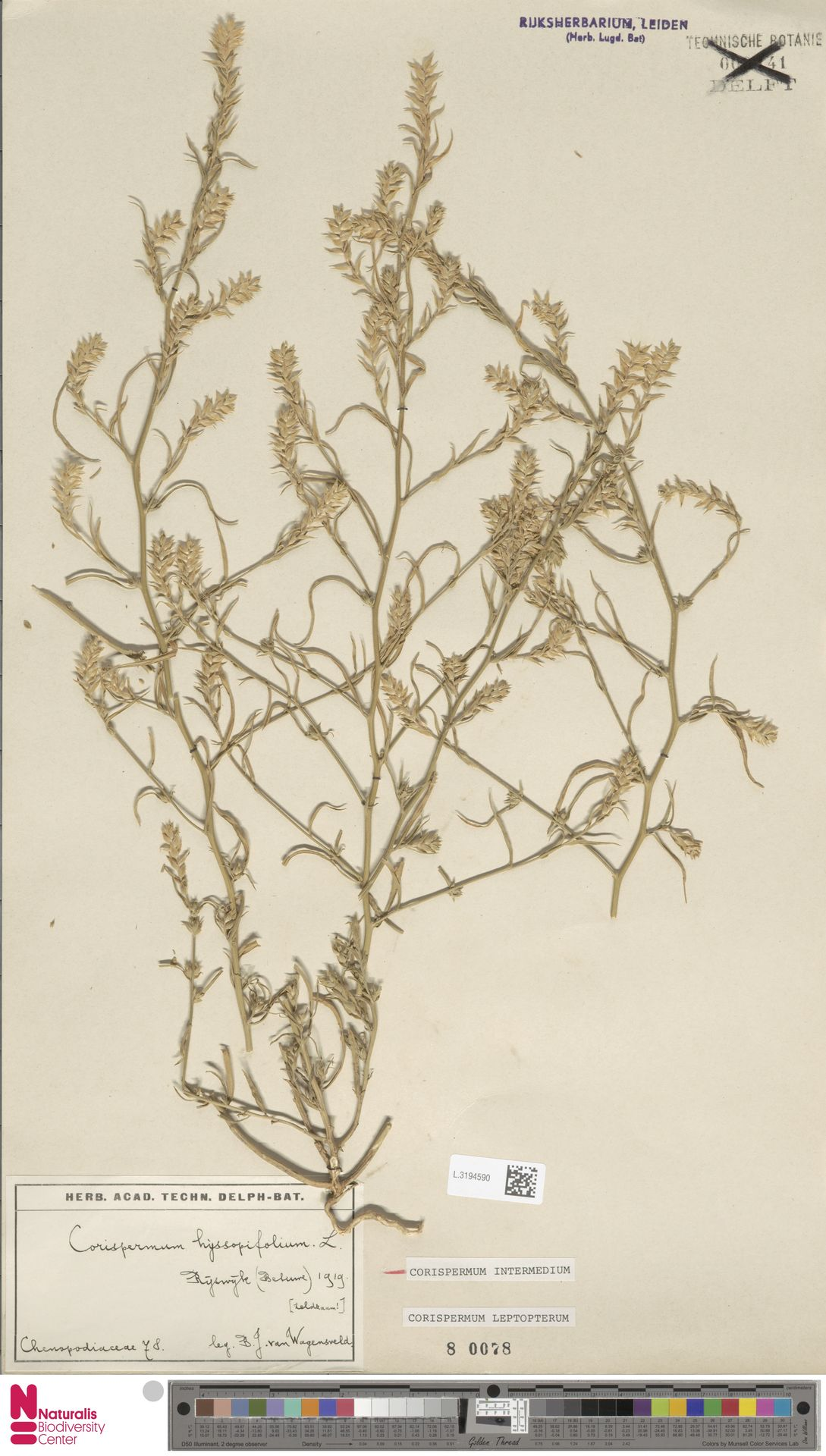 L.3194590 | Corispermum intermedium Schweigg.