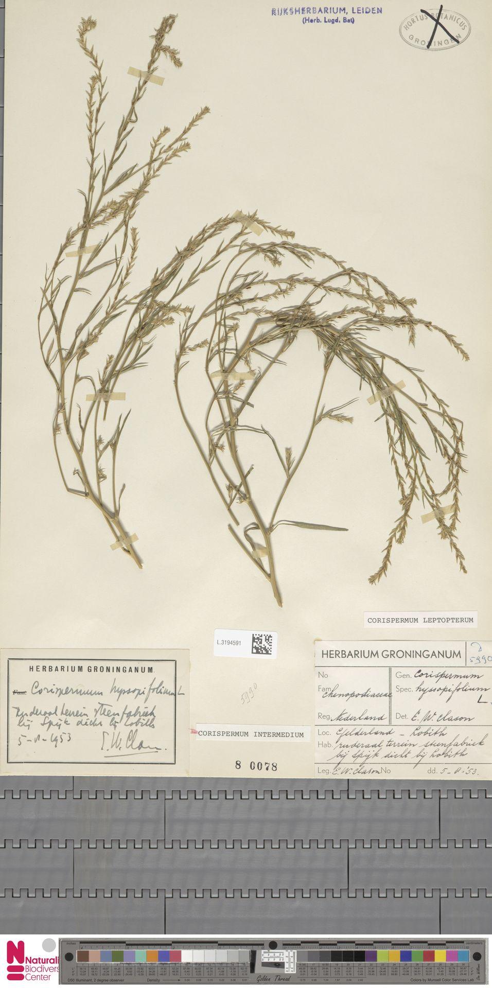 L.3194591 | Corispermum intermedium Schweigg.
