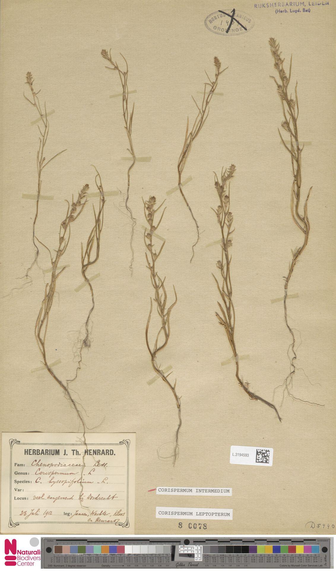 L.3194593 | Corispermum intermedium Schweigg.