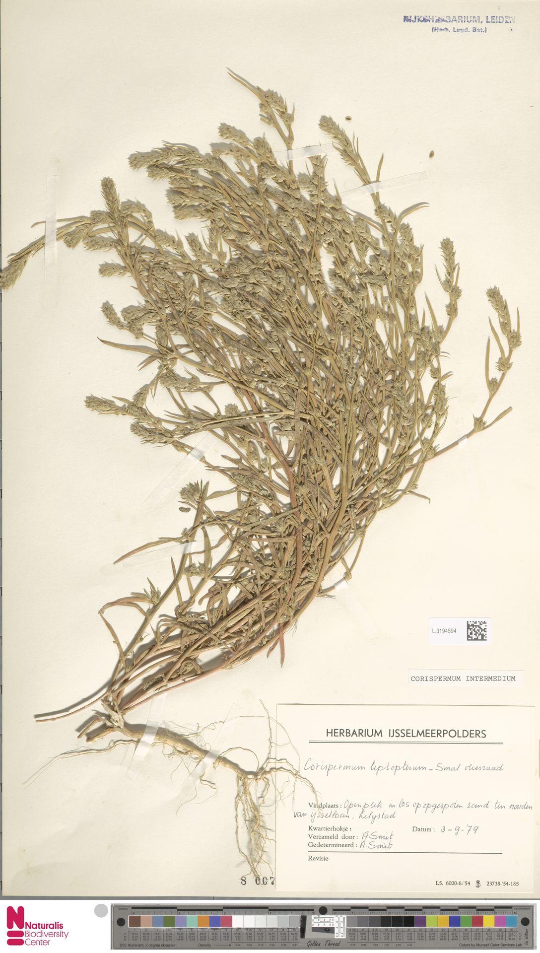 L.3194594 | Corispermum intermedium Schweigg.
