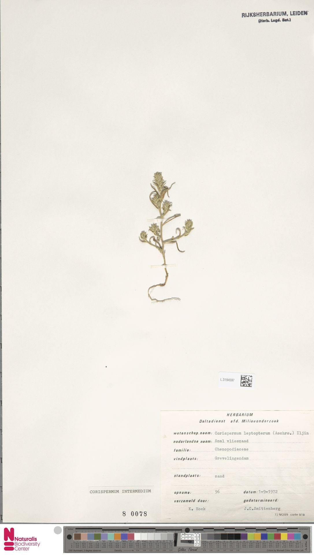 L.3194597 | Corispermum intermedium Schweigg.
