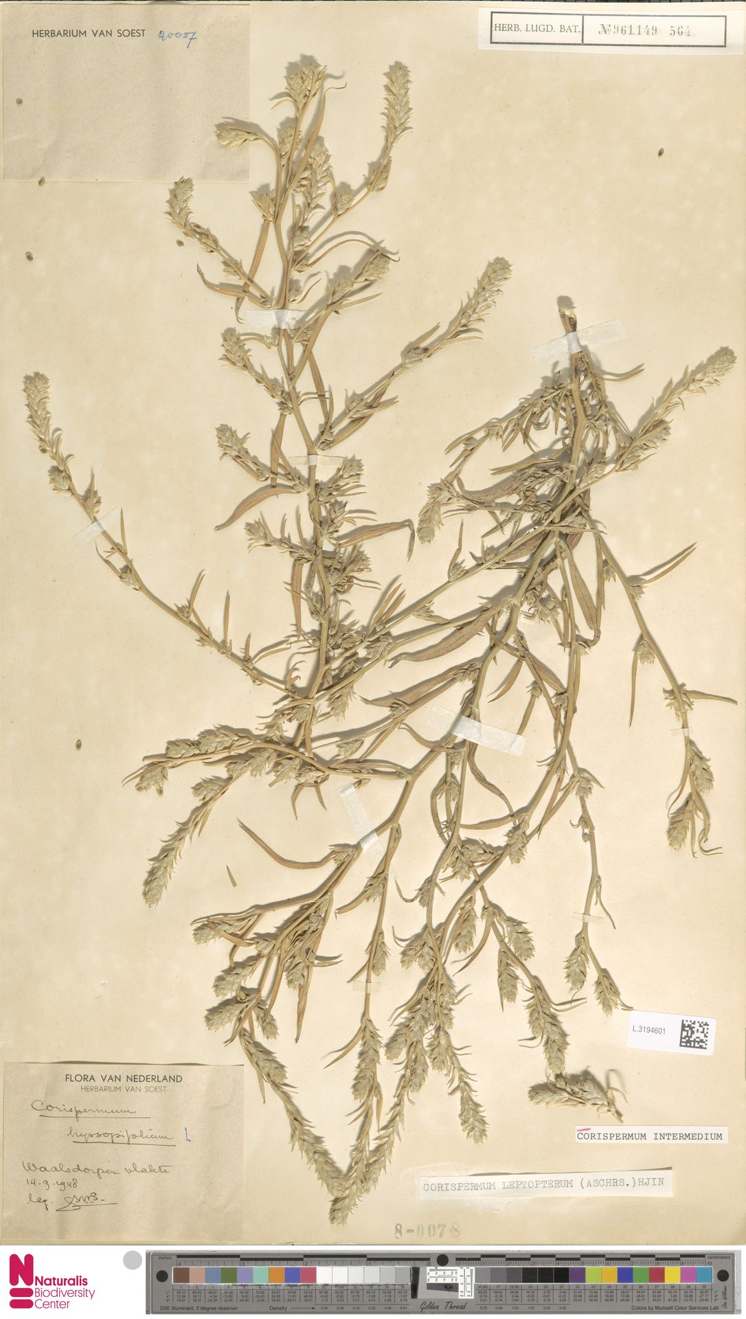 L.3194601 | Corispermum intermedium Schweigg.