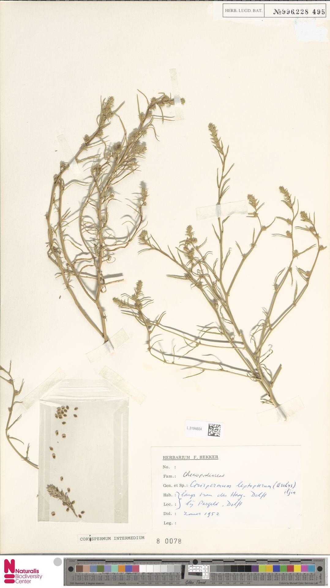 L.3194604 | Corispermum intermedium Schweigg.
