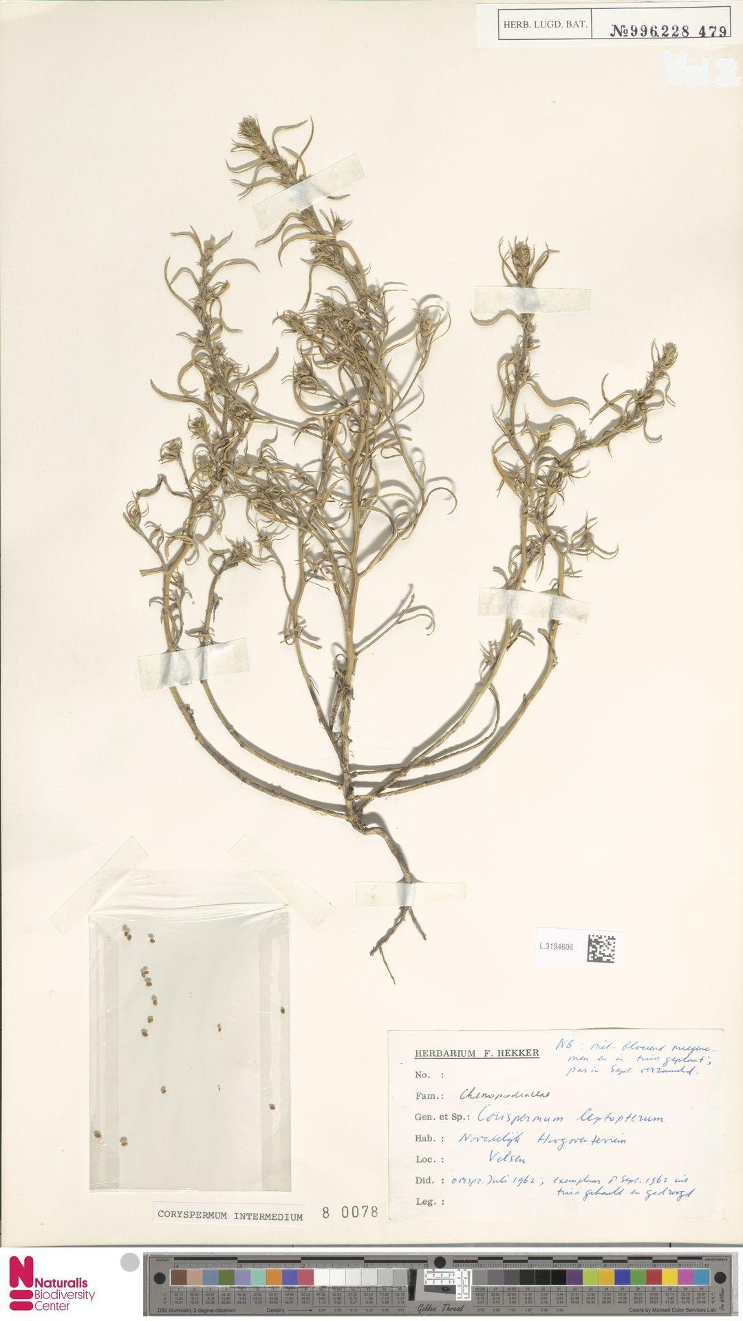 L.3194606 | Corispermum intermedium Schweigg.
