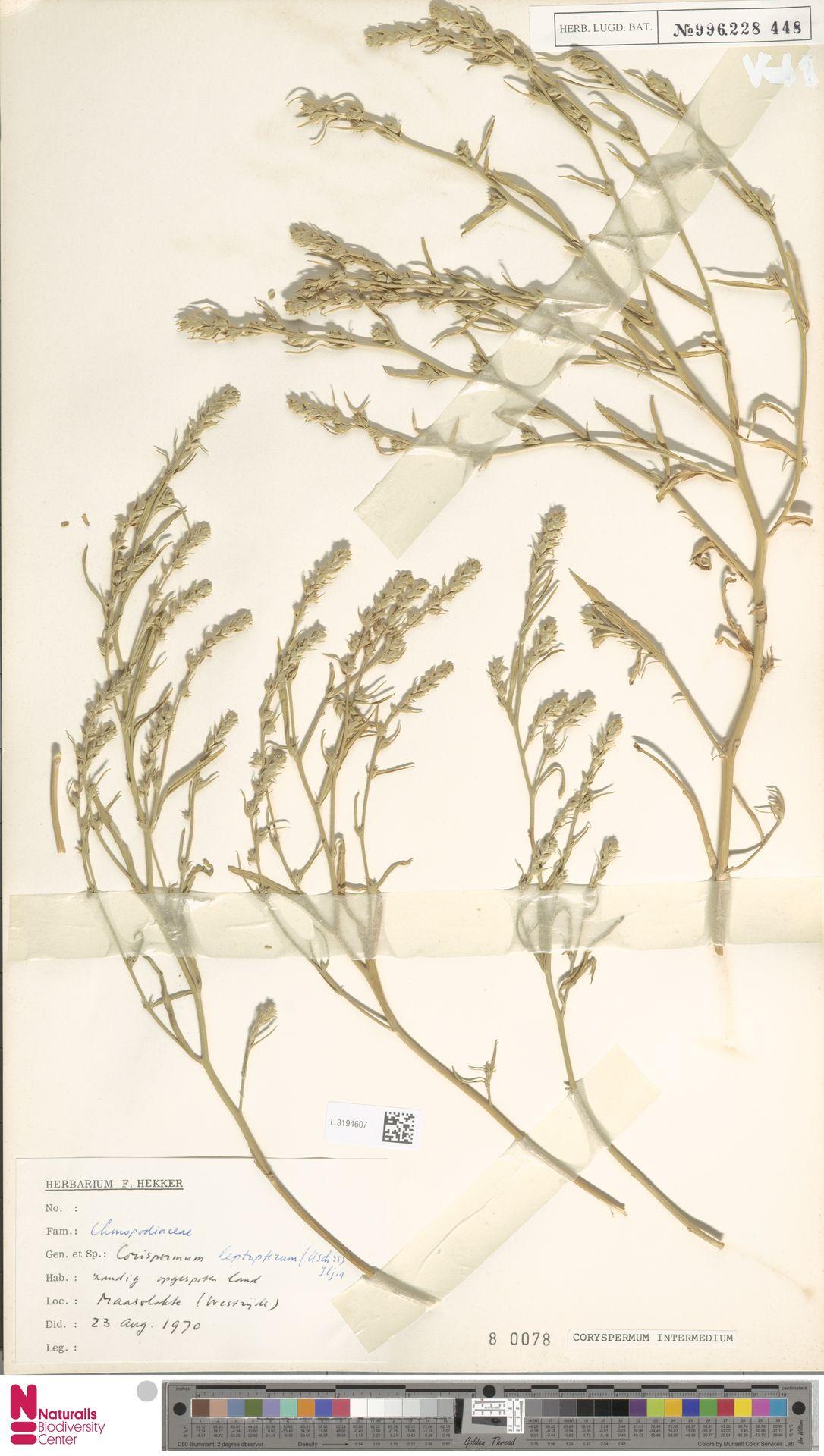 L.3194607 | Corispermum intermedium Schweigg.