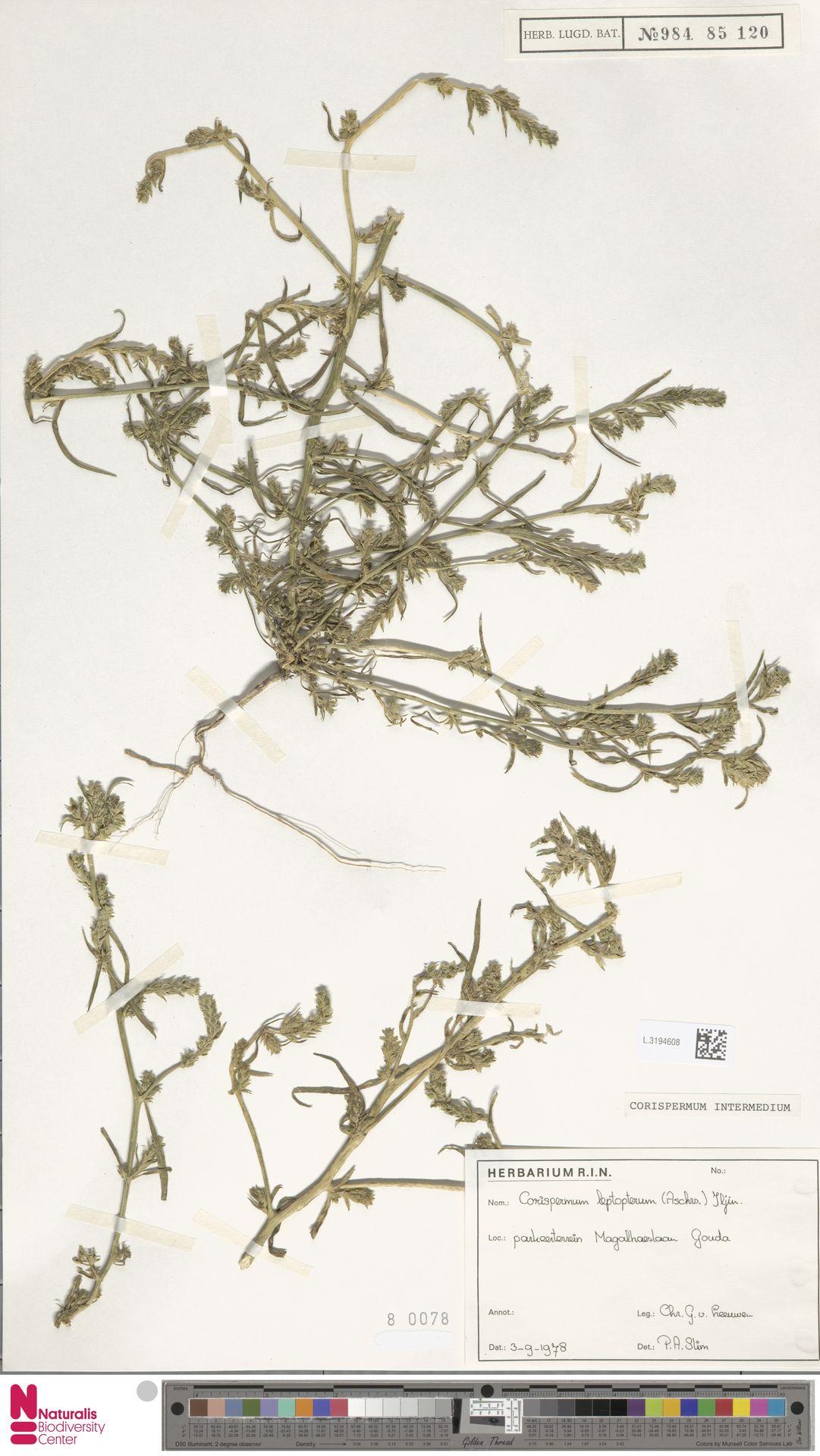 L.3194608 | Corispermum intermedium Schweigg.