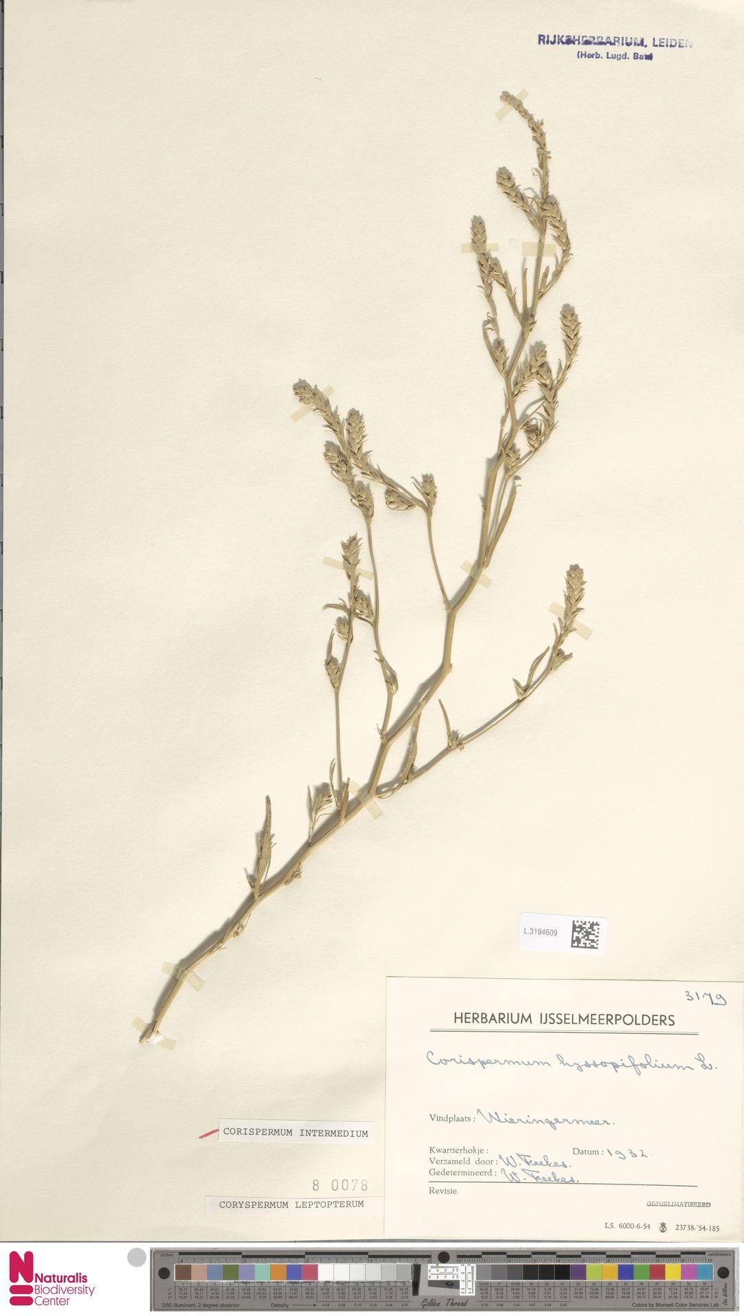 L.3194609 | Corispermum intermedium Schweigg.