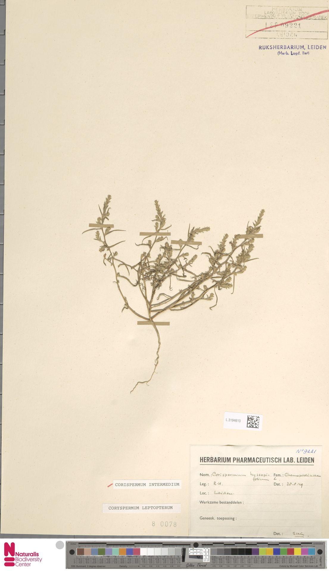 L.3194610 | Corispermum intermedium Schweigg.