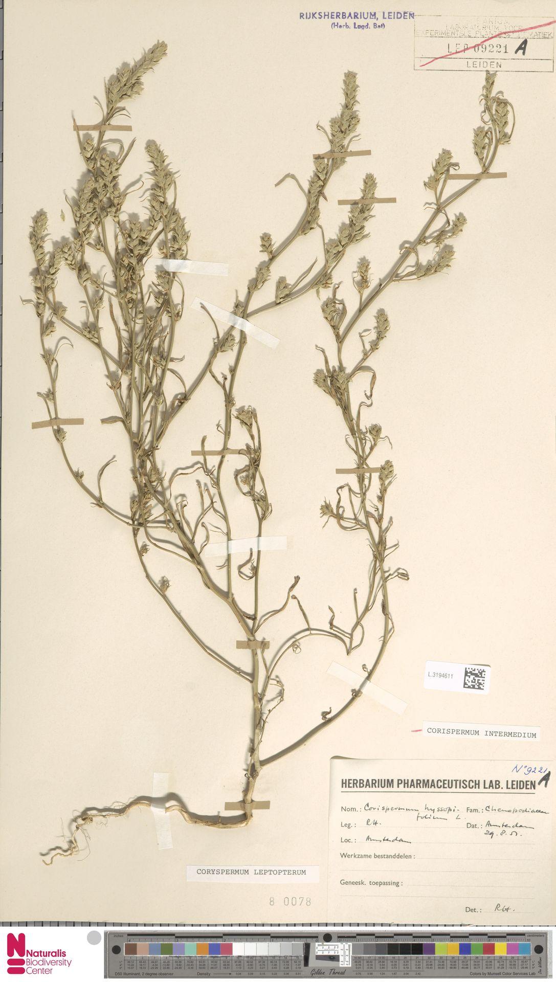 L.3194611 | Corispermum intermedium Schweigg.