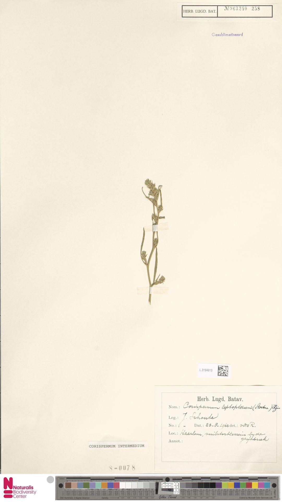L.3194613 | Corispermum intermedium Schweigg.