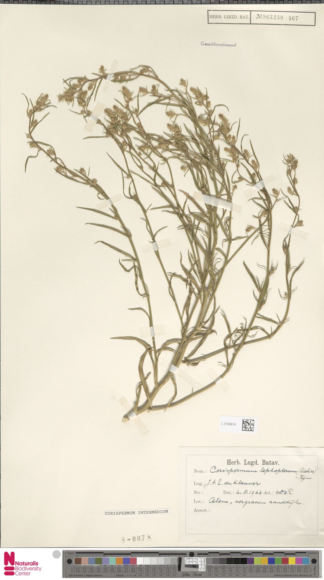 L.3194614 | Corispermum intermedium Schweigg.