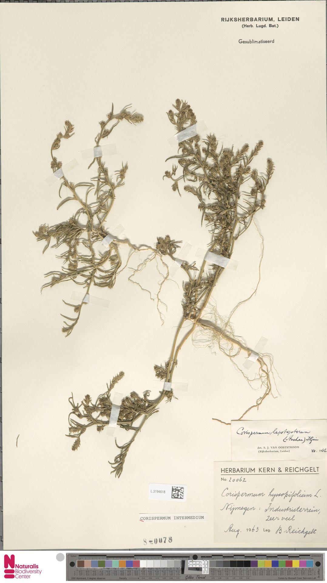 L.3194618 | Corispermum intermedium Schweigg.