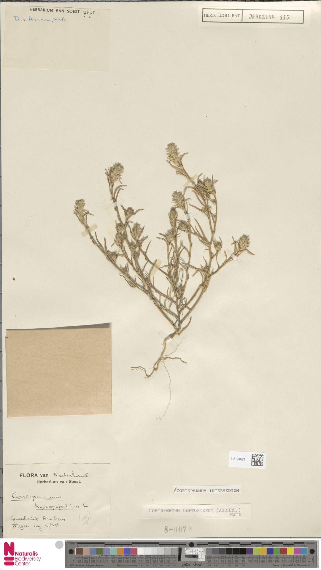 L.3194621 | Corispermum intermedium Schweigg.