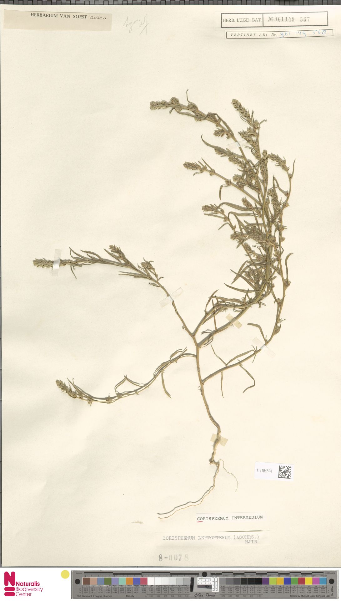 L.3194623 | Corispermum intermedium Schweigg.