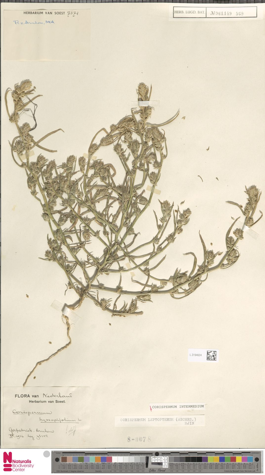 L.3194624 | Corispermum intermedium Schweigg.