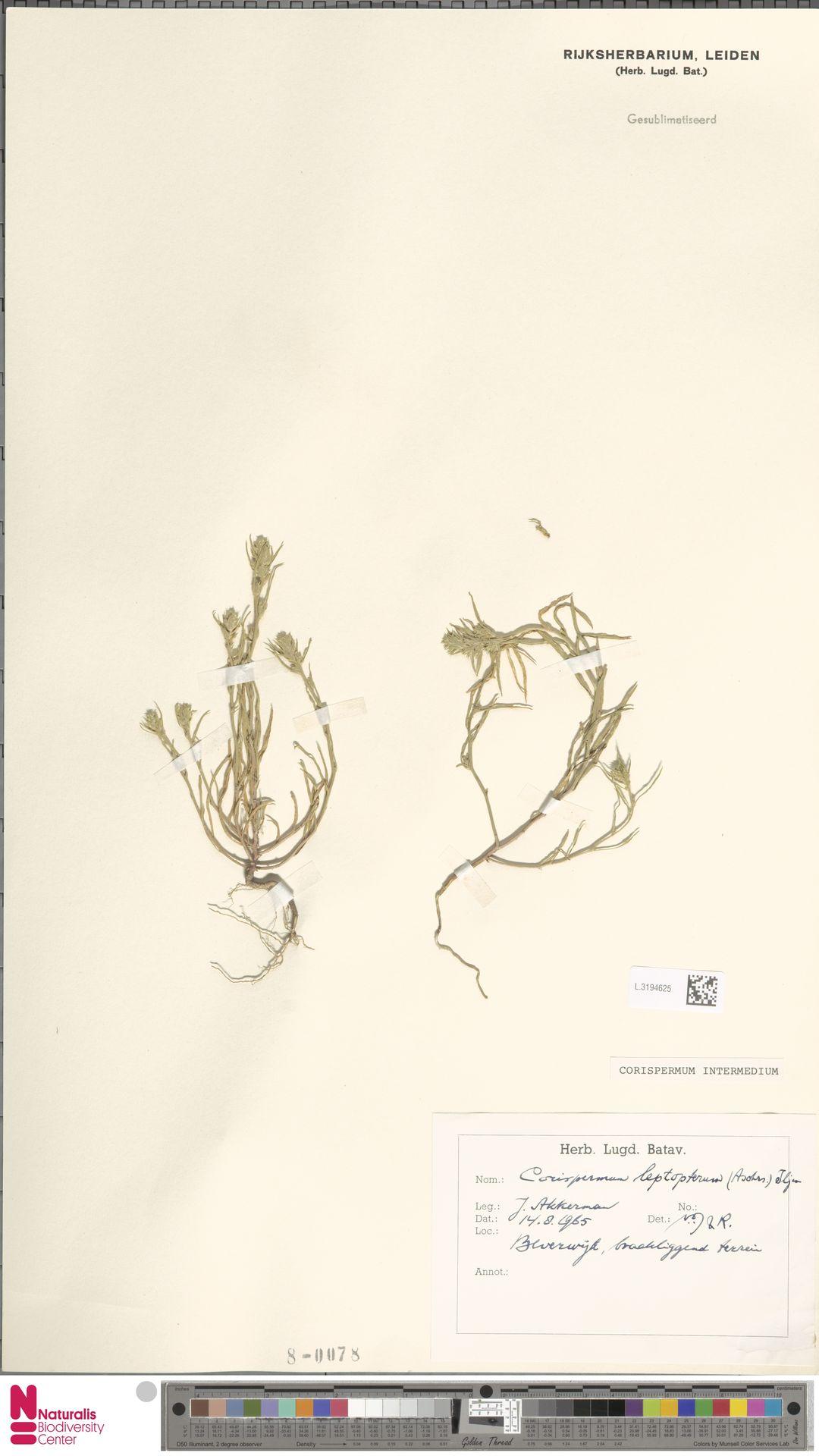 L.3194625 | Corispermum intermedium Schweigg.