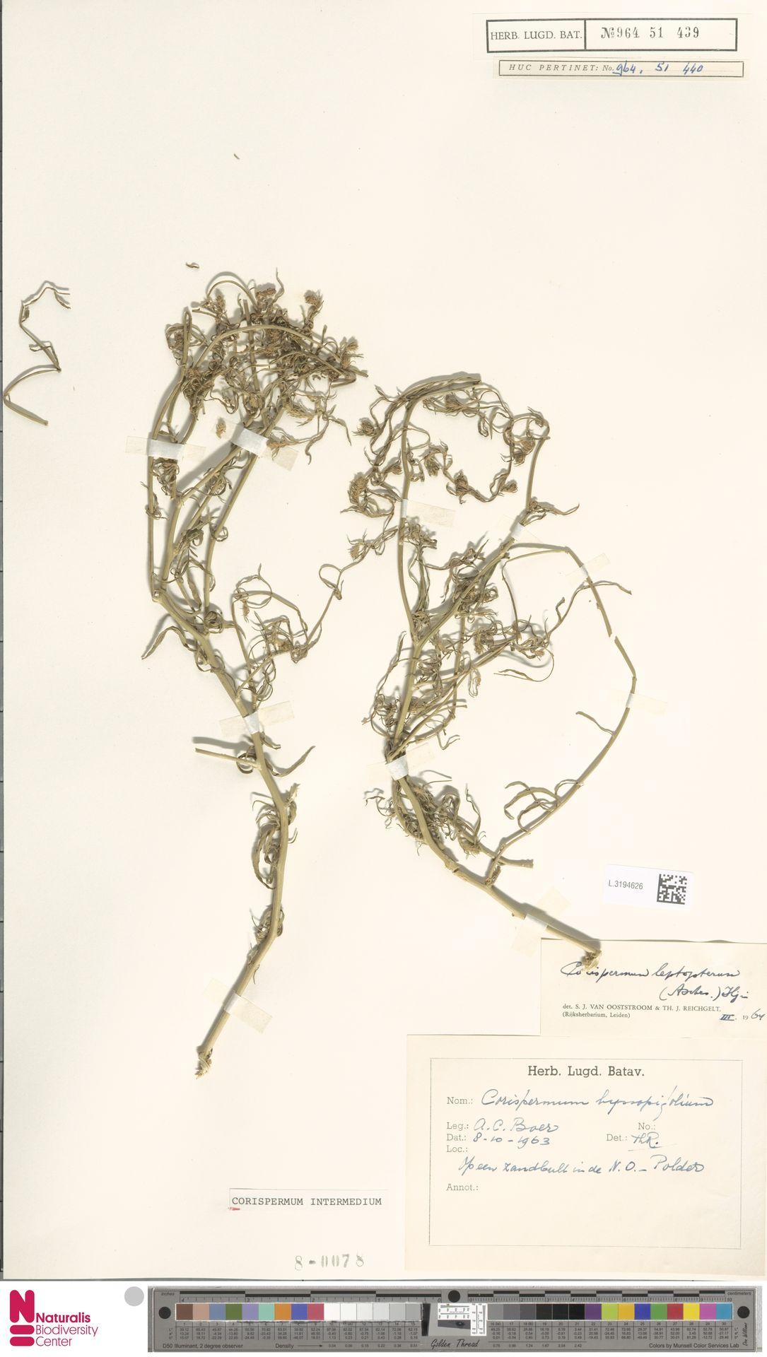 L.3194626 | Corispermum intermedium Schweigg.