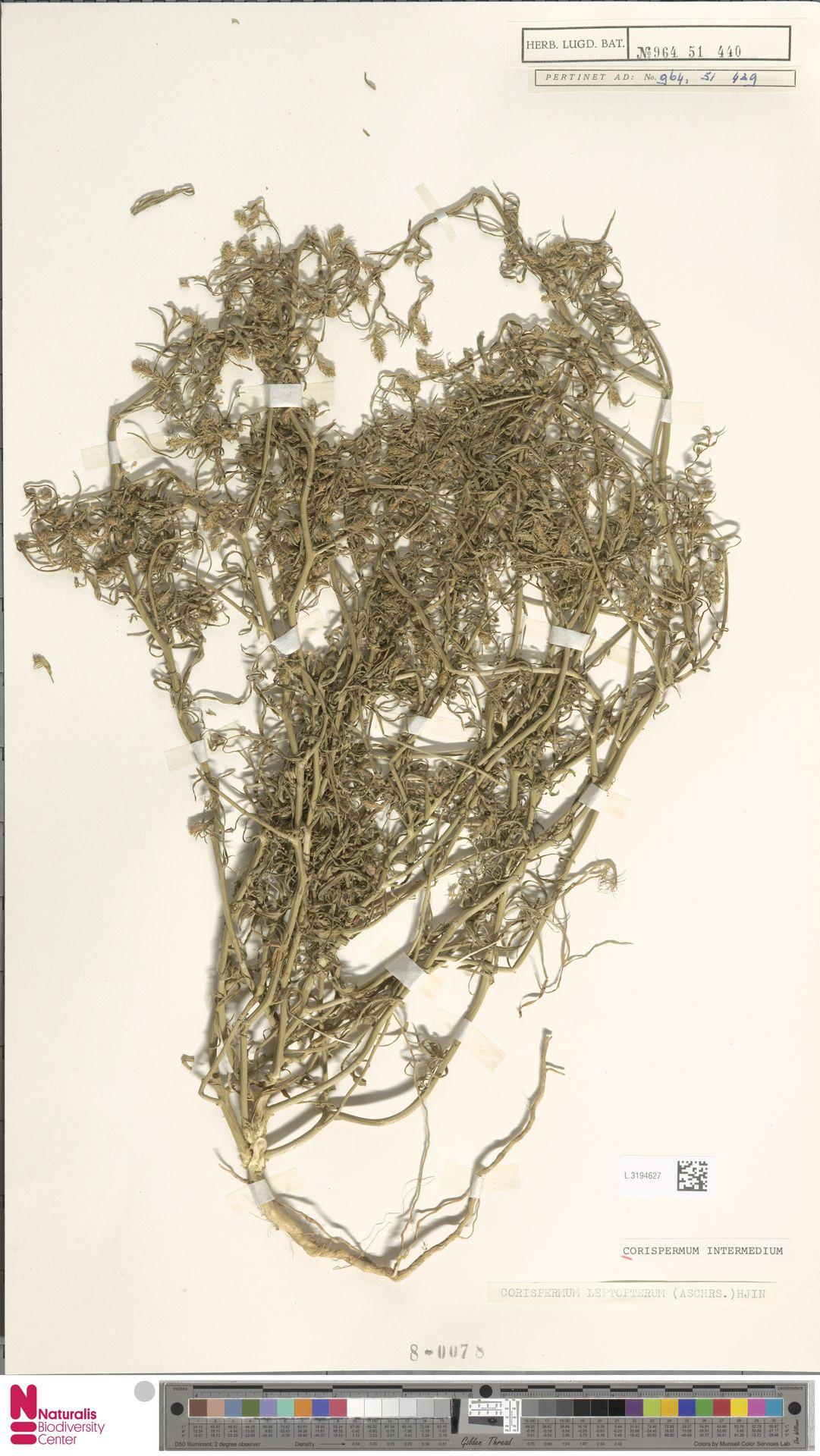 L.3194627 | Corispermum intermedium Schweigg.