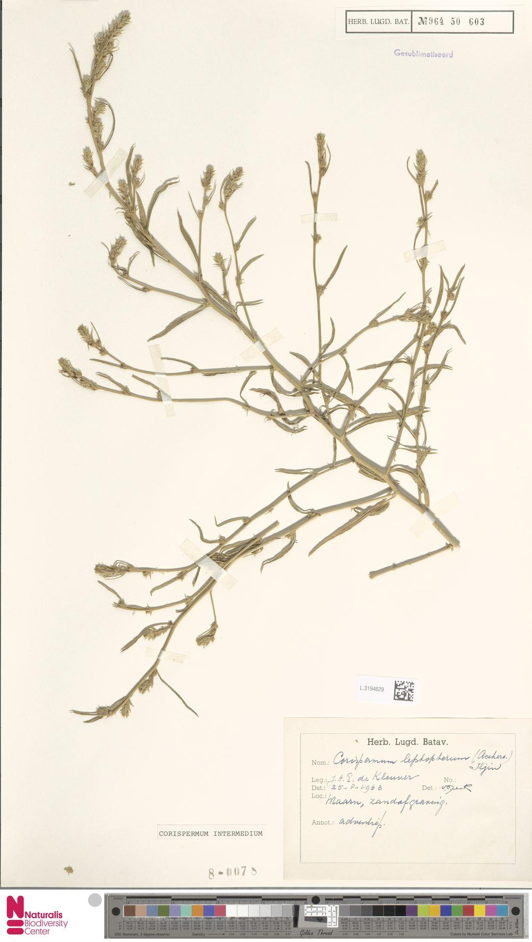 L.3194629 | Corispermum intermedium Schweigg.