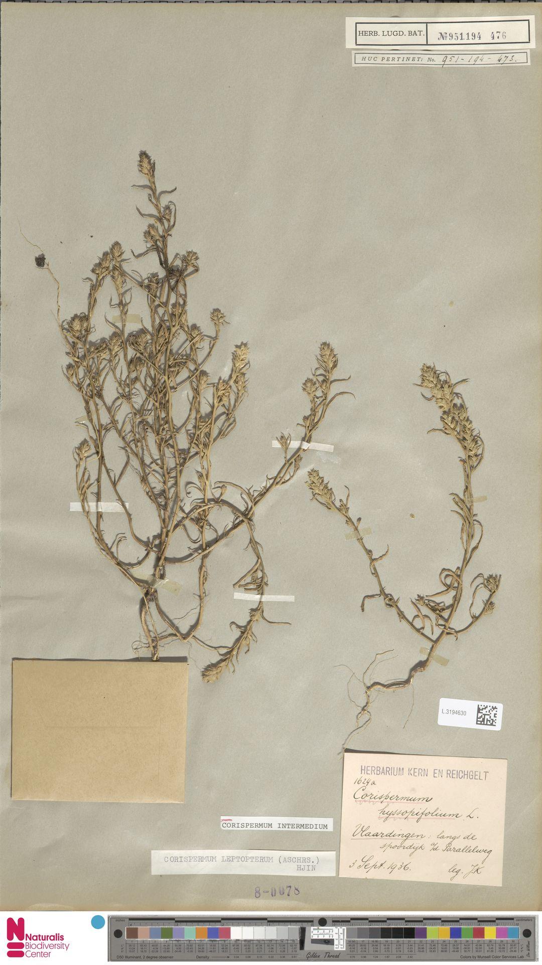 L.3194630 | Corispermum intermedium Schweigg.